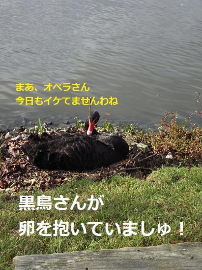 黒鳥さんの抱卵