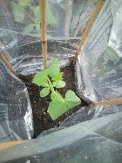 20100526 栽培2