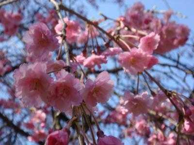 善徳寺しだれ桜
