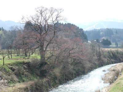 2010.4.3 向野の桜