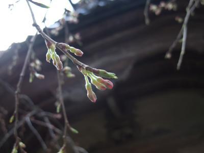 2010.4.3 丸山公園姉妹桜