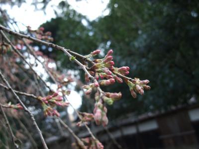 2010.4.3 善徳寺紅しだれ桜
