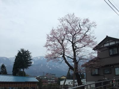 2010.4.5 向野の桜