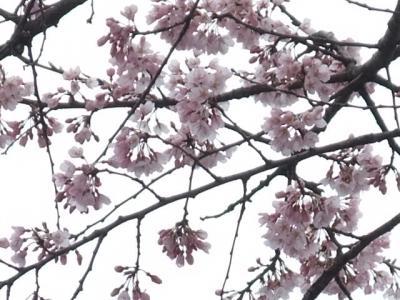 2010.4.5 出丸桜。精一杯のアップ