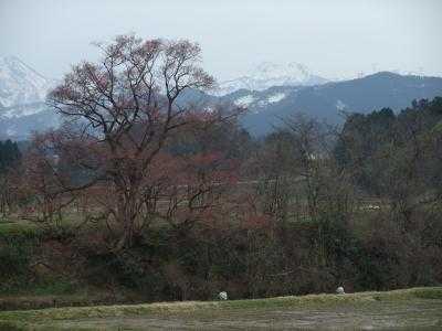 2010.4.5 向野の桜to
