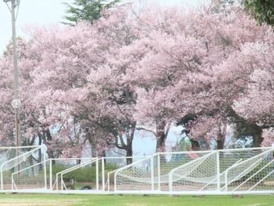 2010.4.5 城端小学校グラウンド桜