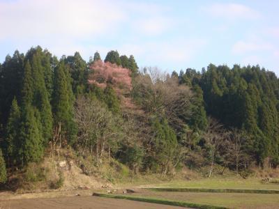 2010.4.8 山桜