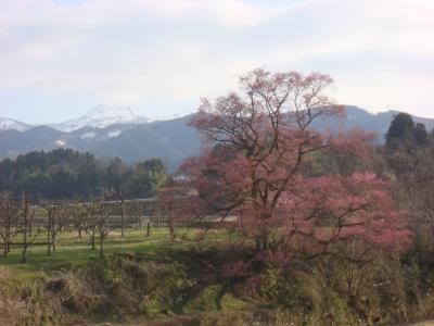 2010.4.8 向野の桜