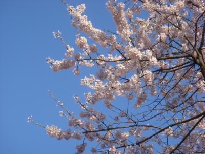 2010.4.8 出丸桜。精一杯のアップ
