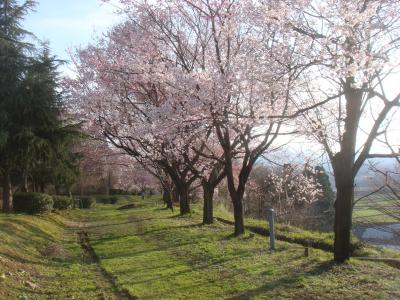 2010.4.8 秘密の桜