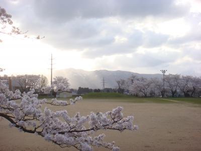 2010 桜写真(小学校グラウンド)