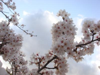 2010 桜写真(神明通り桜アップ)