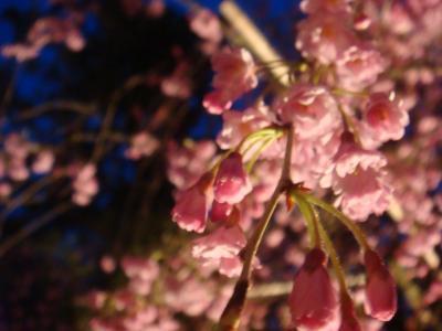 2010 桜写真(紅しだれアップ夜)