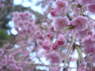2010 桜写真(紅しだれアップ)