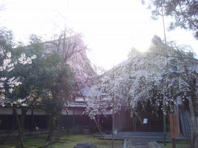 2010.4.14 善徳寺しだれ桜