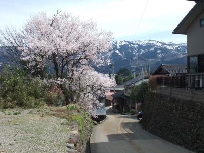 2010 桜写真(東新田の坂の桜)