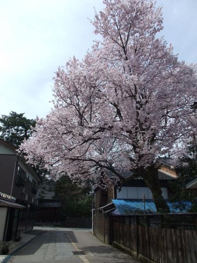 2010 桜写真(越しの彼岸桜)