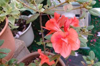 四季咲きのツツジ