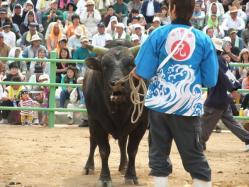 目の前には戦闘態勢の牛が・・・。