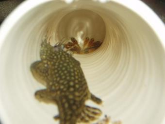第3弾プレコ稚魚完全孵化