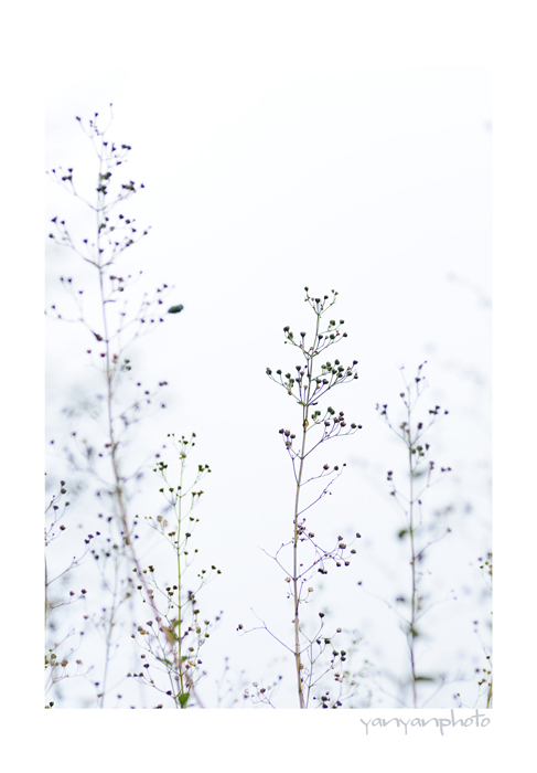 アキチョウジの花あと