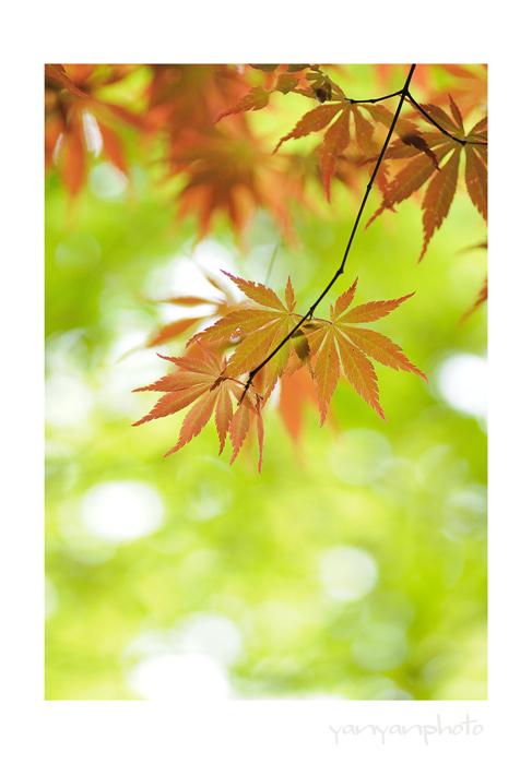 新芽の紅葉