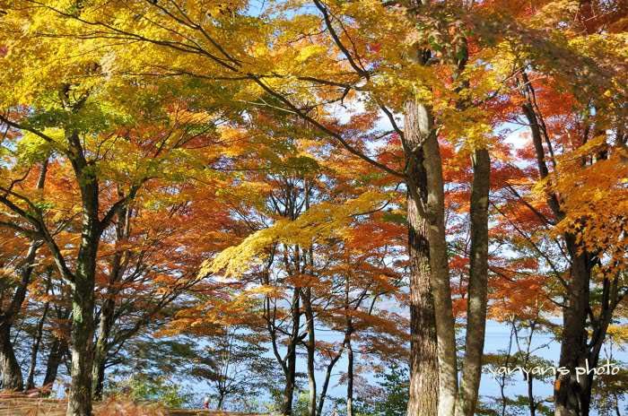 山中湖紅葉