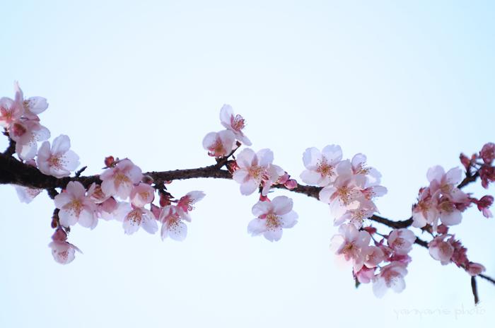 小金井薄紅桜