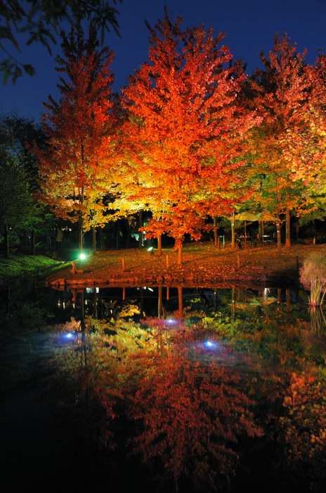 楓のライトアップ