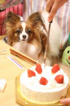 ケーキを見るぱぴの目真剣!