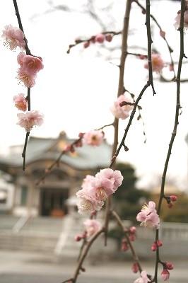 枝垂れ梅が咲き始めてた。
