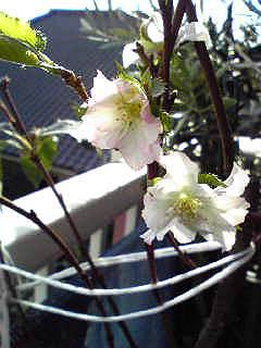 千田さんの秋の桜