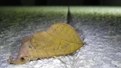 アケビコノハ