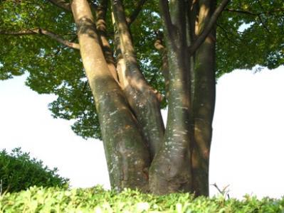 コノ木何の木