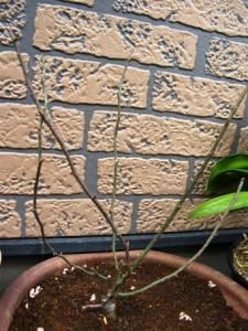 植えたばかりのローブリッター