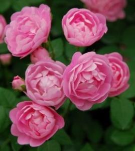 可愛い薔薇