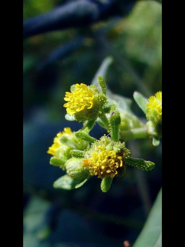 コメナモミ 頭花
