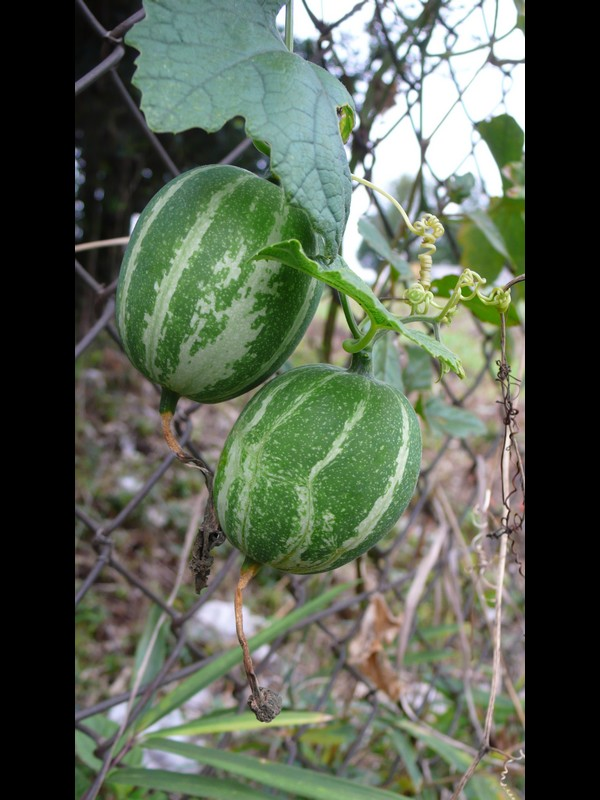 カラスウリ 若い果実