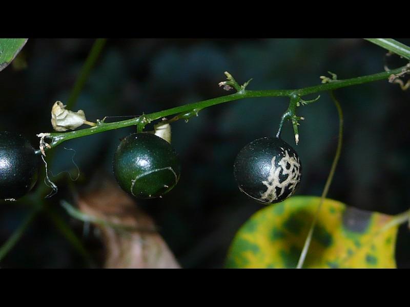 アマチャヅル メロンな果実