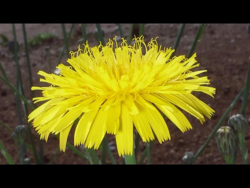 ブタナ 花の拡大