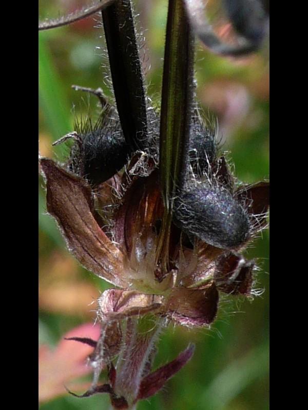 アメリカフウロ オシベ花糸