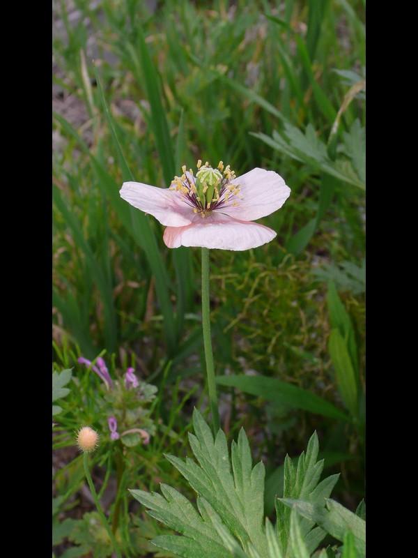 ナガミヒナゲシ 色落ちした白っぽい花
