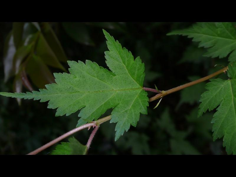 コゴメウツギ 葉