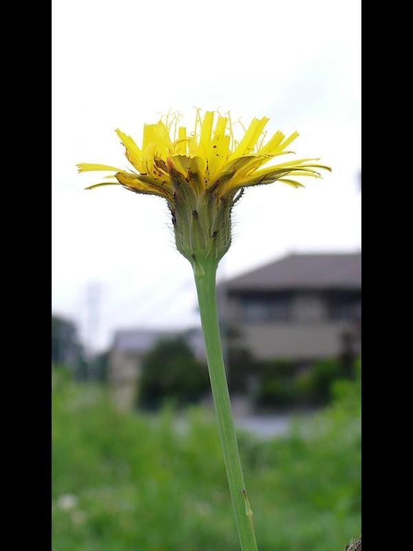 ブタナ 花横