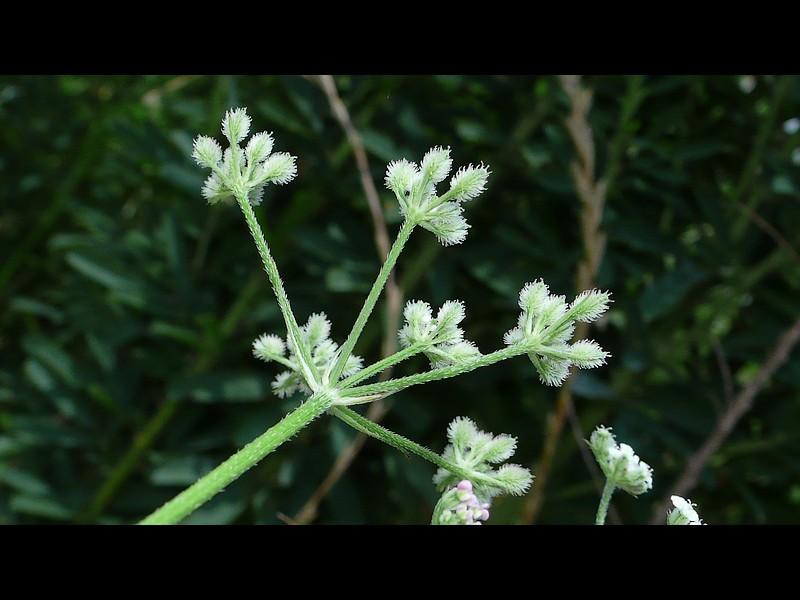 ヤブジラミ 花柄と大総苞片、小花柄と小総苞片の様子