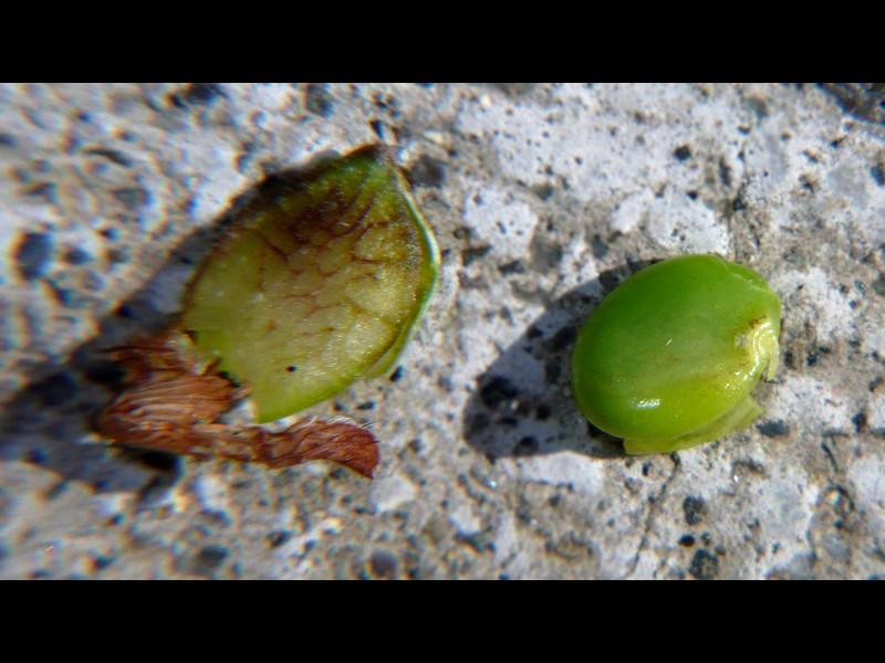 ヤハズソウ 果実と種子
