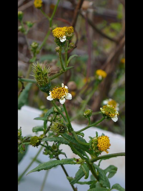 アイノコセンダングサ (コシロノ寄り) 花