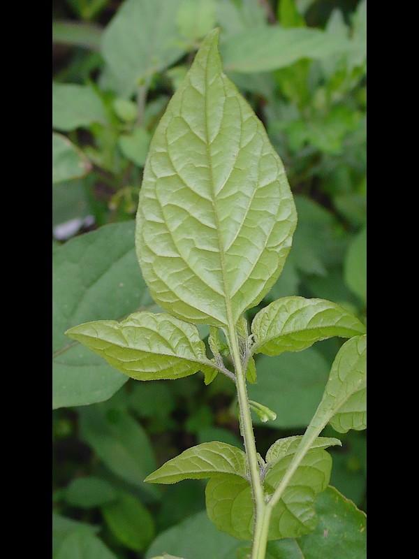 テリミノイヌホオズキ (標準的な環境のもの) 若い葉裏