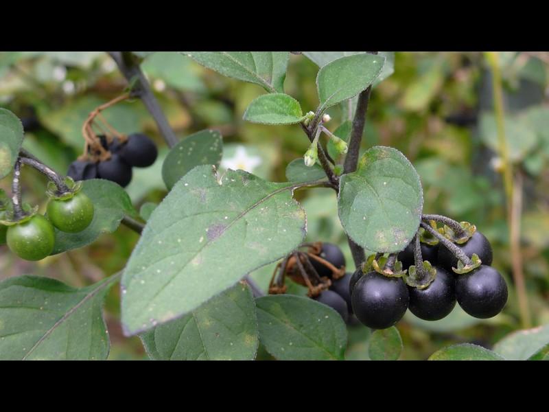 未明なイヌホオズキ類 ※ 葉と果実