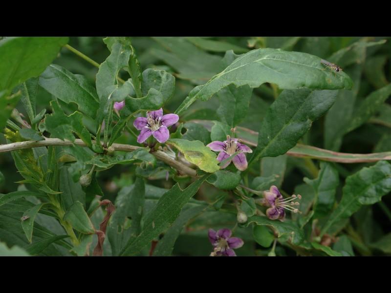 クコ 花と葉と枝